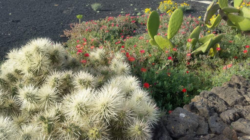 Na Lanzarote kaktusy kwitną najpiękniej zimą