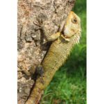podróż na Sri Lankę, Polonnaruwa - kameleon