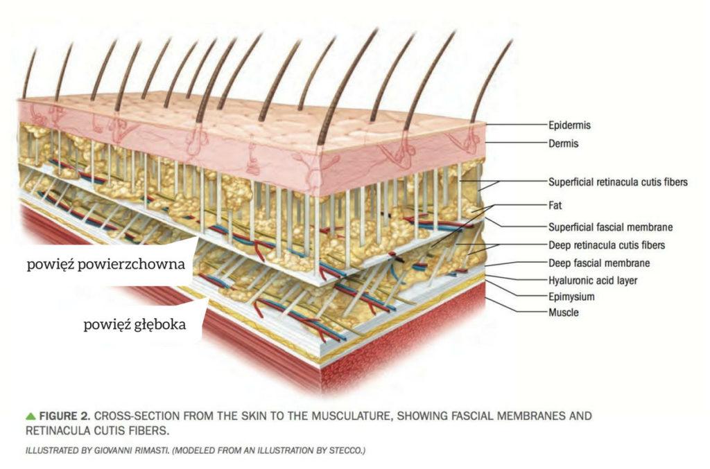 powięź powierzchowna przekrój skóry