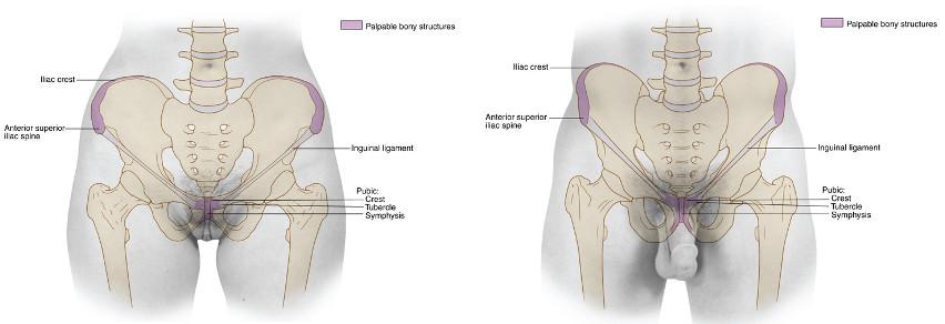 dno miednicy anatomia dna miednicy mięśnie dna miednicy Maria Nasiłkowska