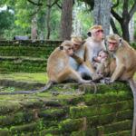 podróż na Sri Lankę, Polonnaruwa małpia rodzina makaków rozczochranych