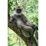 relacja z podróży, relacja ze Sri Lanki, Polonnaruwa hulman - małpa z rodziny koczkodanowatych