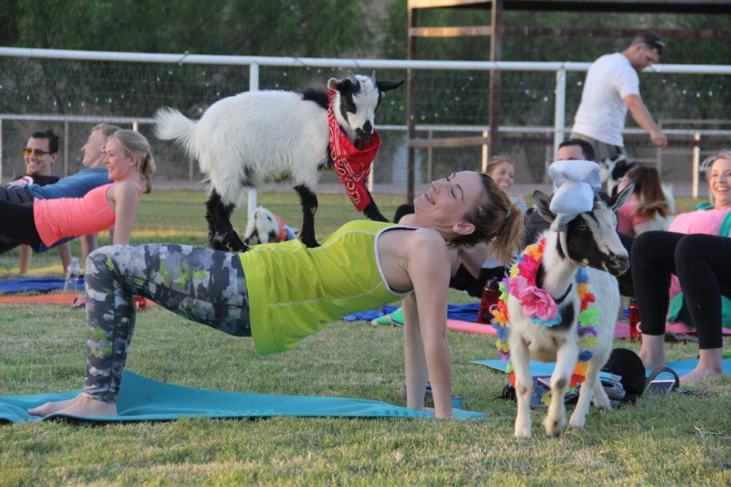 """Gdzie są granice jogi? Dla jednych coś jest jogą, dla innych to samo jogą już nie jest. Na zdjęciu """"goat-yoga"""", czyli joga praktykowana pośród kóz. Zdjęcie: www.phoenixnewtimes.com"""